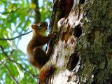 Red Squirrel and his Nut