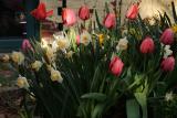 daffodils tulips 001.jpg