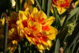 monsella tulips 001.jpg