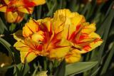 monsella tulips 002.jpg