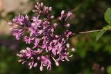 lilacs 001.jpg