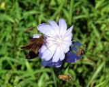 Skipper on Chicory
