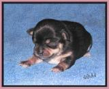 It's a Black and Tan Girl at One Week Old