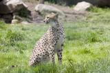 Cheetah-1.jpg