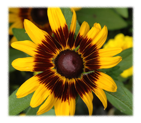 Brown eye Susan