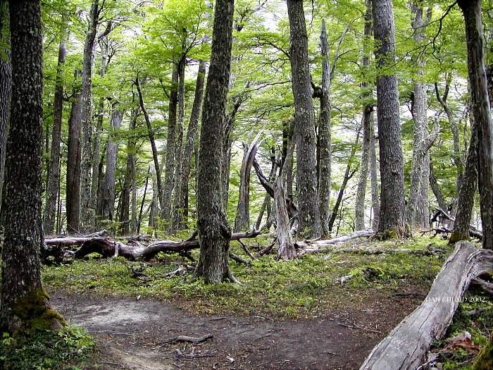 Chilean Forest