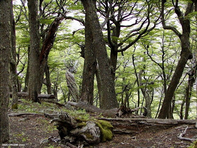 Patagonian Forest - II