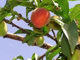 First peach.jpg