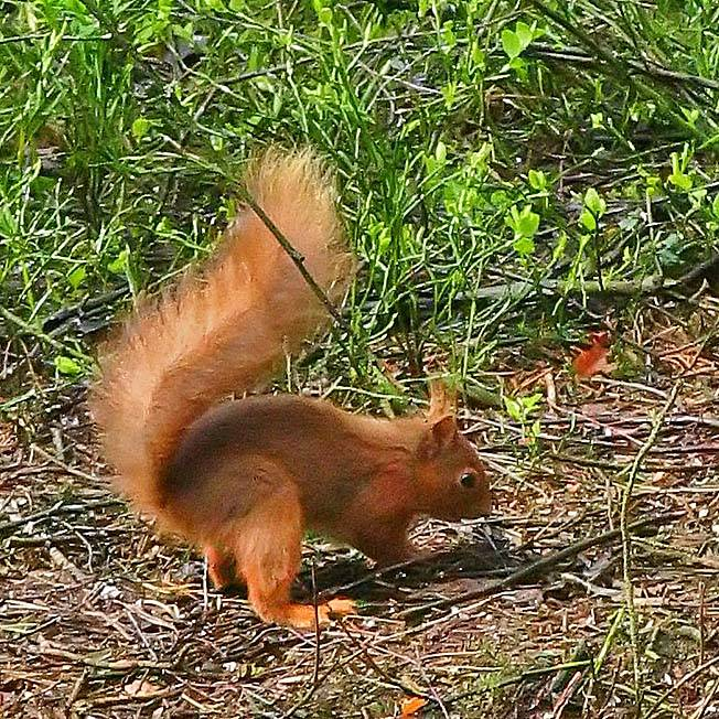 Red Squirrel burying a nut