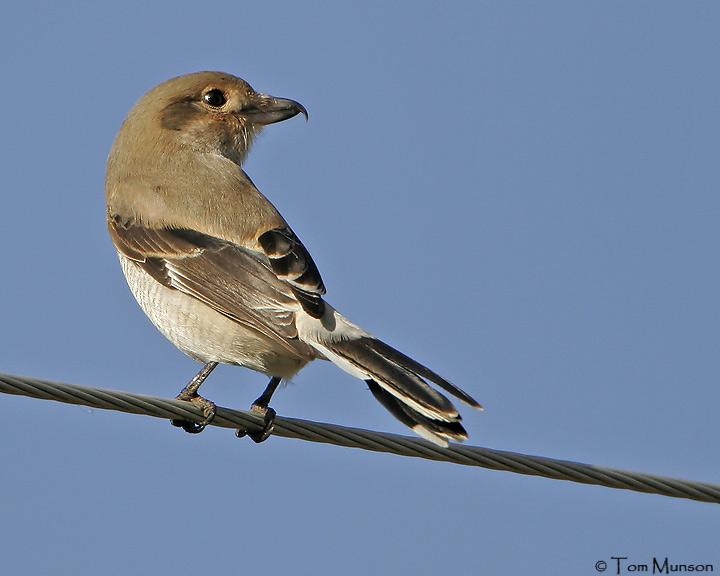 (Juv.) Northern Shrike