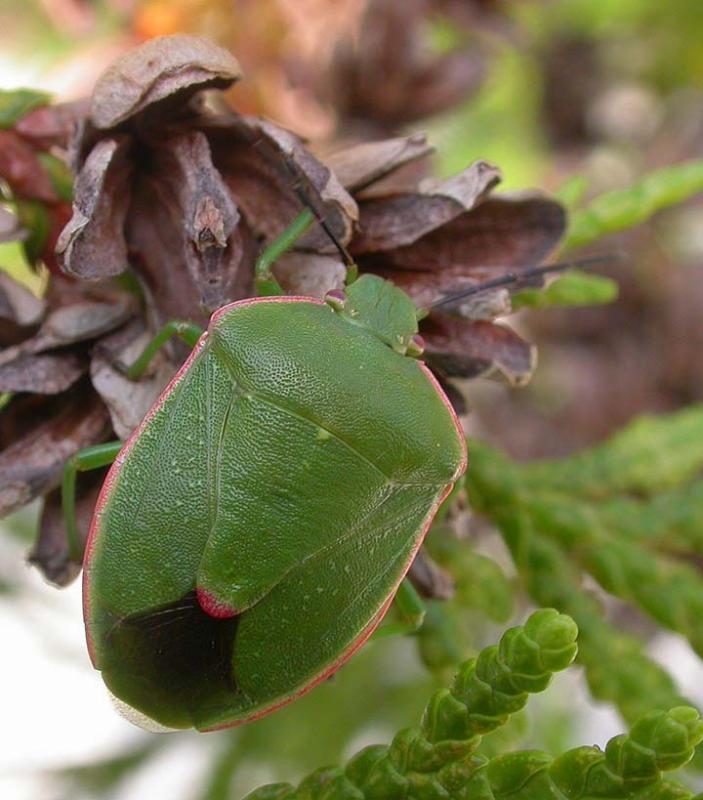 Stink bug --- <i>Chlorochroa persimilis (Horvath)</i>