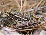 CATA-palustris2.jpg