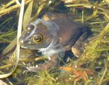 Bull frog -- Rana catesbeiana moulting skin