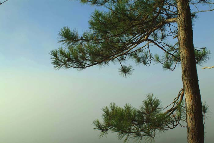 Barbour Pine