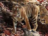 Bandhavgarh Tiger Reserve, Madhya Pradesh, India:  April 2005