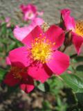 Hart Park Roses