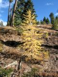 Single Light Golden Larch