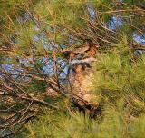 Adult owl is always perched in a nearby tree within eye-sight of the baby owl.
