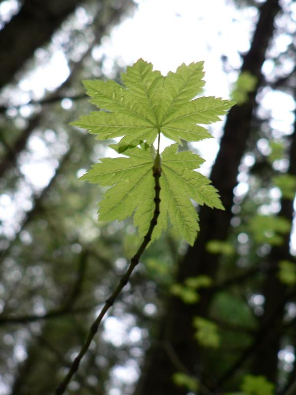 Young Vine Maple