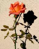 IMG_4219 roses.jpg