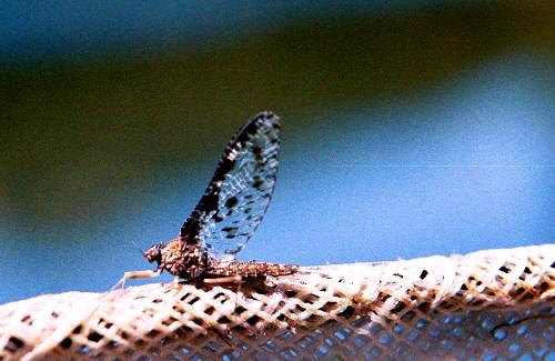 Callibaetis mayfly
