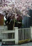 Cheery Blossoms in Warren RI May 8 2005.jpg