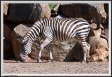 Zebra - CRW_0525 copy.jpg