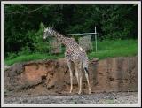 Giraffe - DSCF0083 copy.jpg