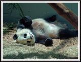 Panda - DSCF0096 copy.jpg