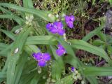 Closeup of Virginia Spiderwort