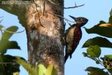 Greater Flameback  Scientific name - Chrysocolaptes lucidus  Habitat - Understory of forest and edge up to 2200 m.  [350D + Sigma 300-800 DG + Sigma 2x TC, 1600 mm, f/18]
