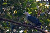 Green Imperial-Pigeon  Scientific name - Ducula aenea  Habitat - Lowland and middle elevation forest.  [350D + Sigma 300-800 DG, 800 mm]