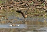 Oriental Pratincole  (Bird at left, breeding plumage]   Scientific name - Glareola maldivarum   Habitat - Drier open areas, dry ricefields, pastures and plowed fields.   [350D + Sigma 300-800 DG + Tamron 1.4x TC, 1120 mm, f/13]