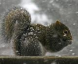 SnowySquirrel.5339