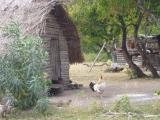 coq. ici il y a des poules partout!