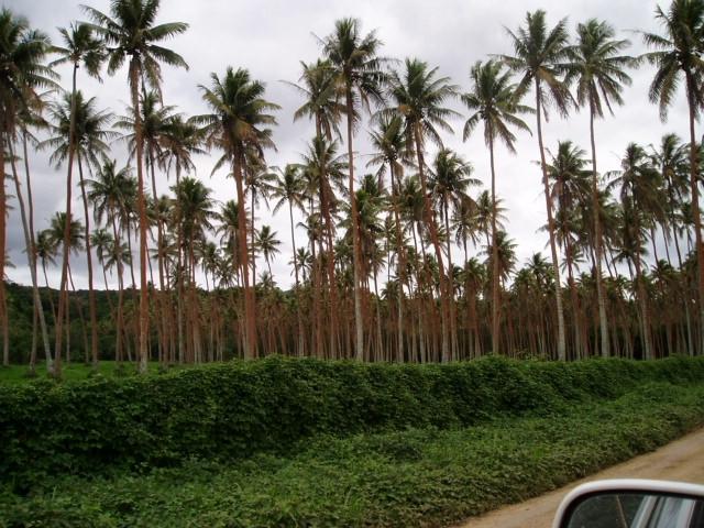 Island tour3- palmier orange -champignon