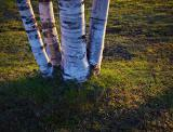 Birch Trunks 20050505