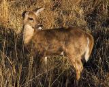 Big Bend Deer 7470