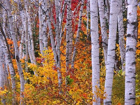 Arrowhead Birches2