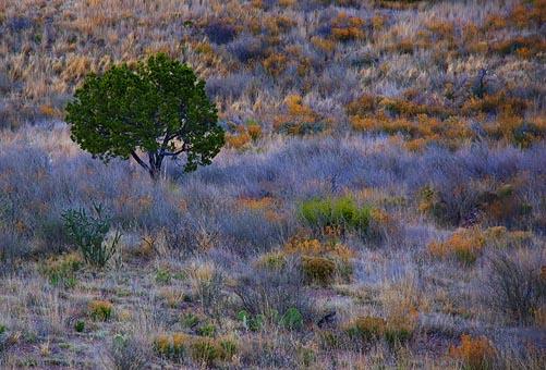 Big Bend Tree at Dusk 7526