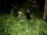 Maidenhair Ferns around the pond