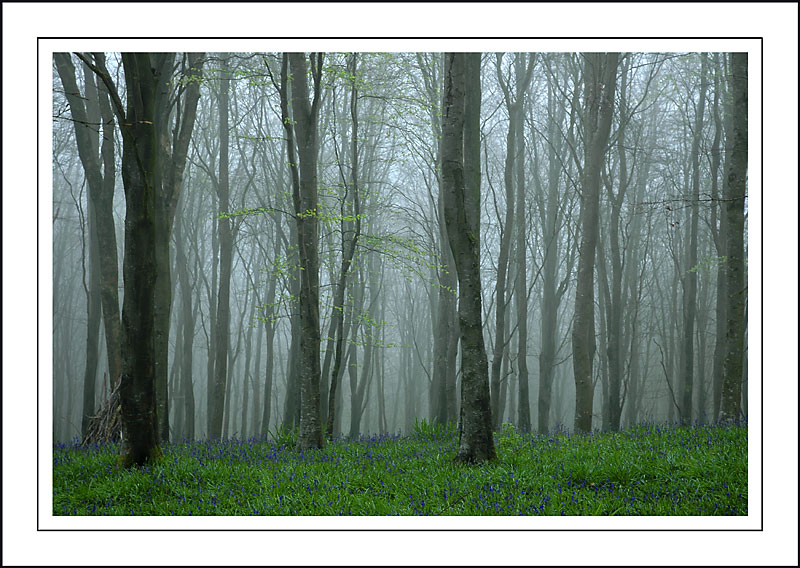 Bluebells in the mist, Nr. Powerstock, Dorset (1959)
