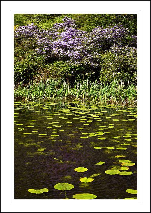 Lily pads and azalea ~ Stourhead
