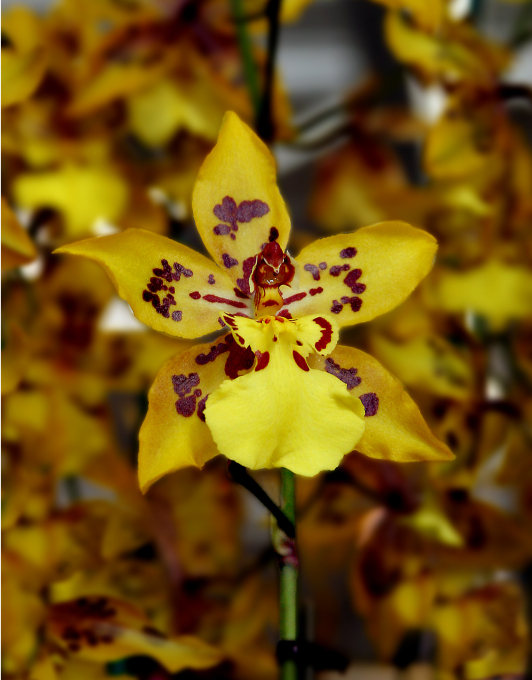 yellow star orchid