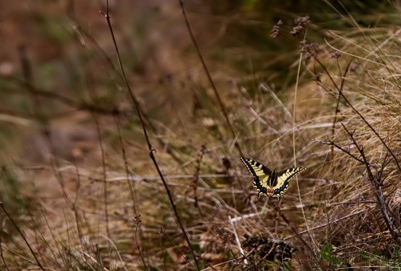 Swallowtail, butterfly