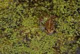 Frog, Esculenta sp