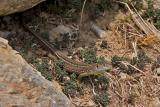 Green Lizard, Juvenile