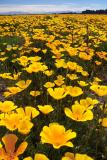 California Poppies 2