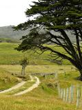 Macrocarpa and Walking Path