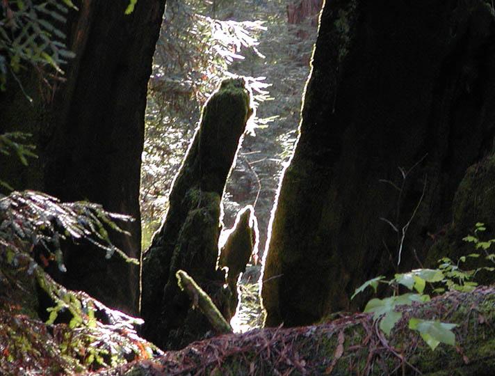 Fuzzy Redwood